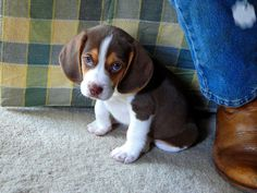 I want a beagle puppy....Tay wants a bigger dog....but I think a beagel would be the perfect size dog for us....I may just have to go get one without him knowing ;) I don't know how much longer I can live without one lol