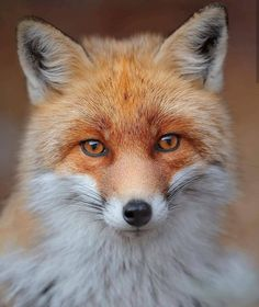 The beautiful Tuscan Fox, swipe across to see all 3 photos 🦊Photos by Share. Popular Photography, Video Photography, Wildlife Photography, Amazing Photography, Animals And Pets, Cute Animals, Baby Animals, Nature Music, Cute Fox