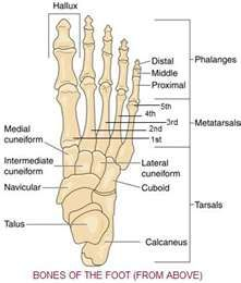 Posterior view foot in neutral | Skeletal | Pinterest | Nursing ...