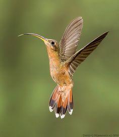 "Rufous-breasted Hummingbird.  Photo by: David Hemmings on Flickr. "" Hummingbirds"""