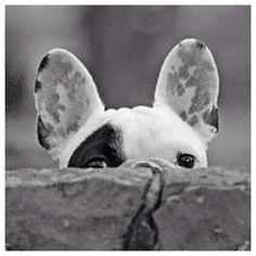 'Peek-a-Boo', French Bulldog Puppy.