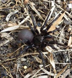 Sydney Funnel-web spiders are some of the world's most deadly spiders