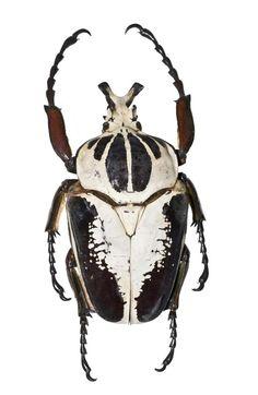 Goliathus regius, Goliath beetle, dried specimen