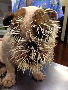 Baby of a bulldog and a porcupine ,poor baby