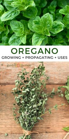 Growing oregano gives you access to an herb there are countless uses for. This herb is easy to grow and offers a bounty of health benefits that every gardener can take advantage of. Here's everything you need to know about how to grow and use oregano! #gardentherapy #driedherbs #growingguide #herbs #herbgarden Oregano Essential Oil, Natural Essential Oils, Growing Herbs, Edible Flowers, Herb Garden, Garden Projects, Dried Flowers, Health Benefits