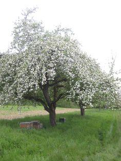 Prächtig blühen die Obstbäume am Ufer
