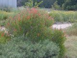 Mr. Smarty Plants - Native plants/shrubs to plant under sycamore and redbud trees