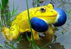 """Indian Valley Bullfrog (Hoplobatrachus Tigerinus). This large striking frog is found in the lowlands of some of SE Asia and the Mideast. Recent studies have ascertained that it's probably a complex of several species."""