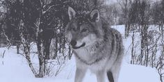 • gif animals wolf beautiful nature wolves wolf pack wearew0lves •