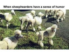 This is funny!  They look just like poodles!