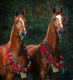 National Show Horse champions (by Live Oak Arabians)