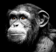 Originally photographed inside the Chimpanzee house at Chester Zoo Monkey Pictures, Animal Pictures, Los Primates, Baby Chimpanzee, Animals And Pets, Cute Animals, Black Paper Drawing, Magnificent Beasts, Tier Fotos