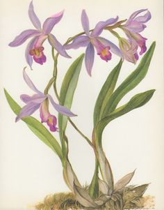 Laelia gouldiana Orchid 1970 Vintage Botanical by Craftissimo