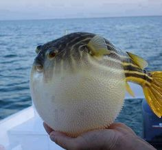 It's a puffer fish. It puffs itself to this size so it appears bigger and more intimidating.  Poisonous but Japanese found a way to cut them without having the toxin spread. Avoid cos any way, the waters are getting more polluted.   This awesome pic is shared by Muhammad Abrar.
