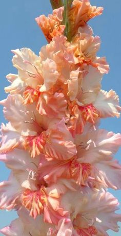 Garden Flowers - Annuals Or Perennials Gladiolus 'God's Gift' (Gladiolus x hortulanus) Amazing Flowers, My Flower, Beautiful Flowers, Beautiful Gorgeous, Dahlia, Gladiolus Flower, Summer Flowers, Dream Garden, Garden Plants