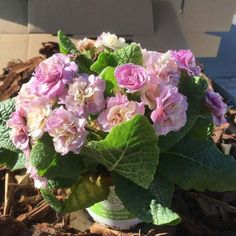 Primula Belarina Pink Champagne Pink Champagne, Rose, Perennial Plant, Plants, Pink, Roses