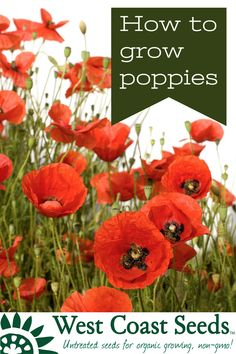 It is easy to grow poppies from seeds. You will find that poppies grow and then self-sow with abandon, without becoming weedy. Learn how to grow poppies with our easy guide Growing Poppies, Gardening For Beginners, Gardening Tips, Sustainable Gardening, Landscaping Plants, Garden Plants, Landscaping Ideas, That Poppy, Poppies