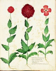 Carnation type flowers. Botanical illustration, medieval Italy by Ulisse Aldrovandi.