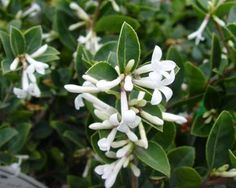 plant with dark evergreen leaves and fragrant white flowers - Google Search