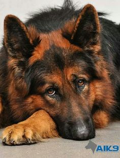 Red and black German Shepherd Dog. This is very rare color combination. This Red is fantastic!!!!