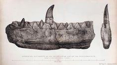 The Megalosaurus jaw studied by William Buckland (Credit: Paul D. Stewart/SPL) Dinosaur Time, Real Dinosaur, Extinct Animals, Prehistoric Animals, Fine Art Prints, Framed Prints, Poster Prints, Canvas Prints, Teeth Drawing