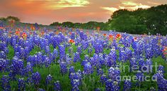 Springtime Sunset In Texas - Texas Bluebonnet Wildflowers Landscape Flowers Paintbrush Print By Jon Holiday