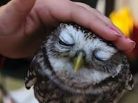 The Cutest and Most Adorable Little Owls You'll Ever See - Awwwww!