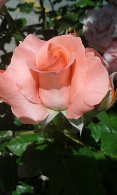 Rosa de S. Sebastian