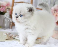 Blue Point Himalayan Cats | Furrbert - Blue bicolor Point Himalayan Kitten for Sale | Superior ...