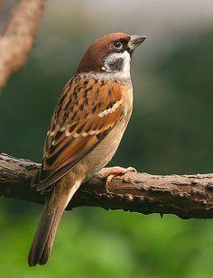 Tree Sparrow onze oude vertrouwde huismus die aan het uitsterven is omdat we nog nauwelijks rieten daken hebben