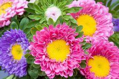 Asters, L'Automne, Jardin, Nature, Fleurs, Fleur