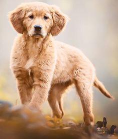 Cecilia Zuccherato | Cecilia Zuccherato Dog Photography Golden Retriever Puppy Dog Photography
