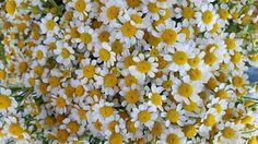 Mini daisies 2016