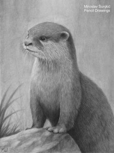 Otter charcoal pencil drawing by Miroslav Sunjkic the Pencil Maestro – Animal Drawing Pencil Drawings Of Animals, Animal Sketches, Cute Drawings, Drawing Sunset, Nature Drawing, Drawing Art, British Wildlife, Wildlife Art, Realistic Flower Drawing