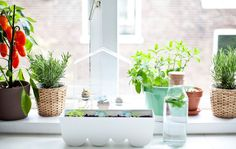 Windowsill garden with herbs, plants and mini greenhouse