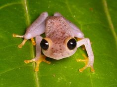 As you can see, this little frog has big black irises, but their bodies tend to grow to just a little more than an inch. The copper rainfrog (Pristimantis chalceus) is native to the rainforests of the northern Andies, and is found in Ecuador and Colombia.