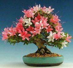 Bonsai multicolour Azalea.