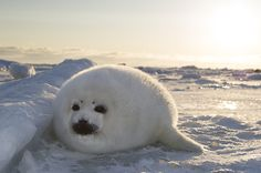 just baby harp seals Harp Seal Pup, Baby Harp Seal, Baby Seal, Animals And Pets, Baby Animals, Cute Animals, Cute Seals, White Seal, Funny Animal Memes