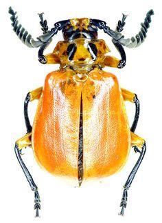 HEXAPODA (Hexápode) - Classe Insecta.  /  HEXAPODA (Hexapod) - Class Insecta.