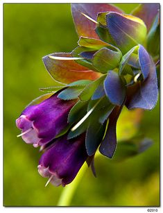 Blue Shrimp Plant, Cerinthe major 'Purpurascens' Flores - Blog Pitacos e Achados - Acesse: https://pitacoseachados.wordpress.com – https://www.facebook.com/pitacoseachados – https://plus.google.com/+PitacosAchados-dicas-e-pitacos https://www.h2h.com.br/conselheirapitacosachados #pitacoseachados