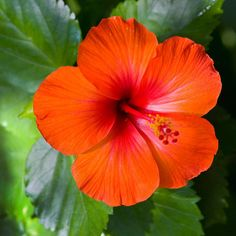Island Hibiscus Fragrance Oil: With over 200 species, hibiscus is not only one of the most beautiful of all tropical plants, the flowers and oil are also widely used in many health and beauty products. Now you can enjoy this wonderful scent in Island Hibiscus Fragrance Oil. Floral notes of hyacinth, jasmine and gardenia blend with a hint of light musk and amber to round out this intoxicating blend.