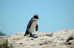 South African Penguin on Boulders Beach. they are soooo cool :) African Penguin, Boulder Beach, Port Elizabeth, Travel Memories, Bouldering, South Africa, Beautiful Places, Surfing, Waves