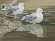 Robert Bateman Entering The Water Common Gulls