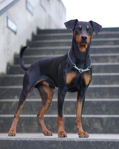 "Fantastic ""miniature pinscher puppy"" info is available on our web pages. Check it out and you will not be sorry you did. Doberman Pinscher, Doberman Dogs, Dobermans, American Doberman, European Doberman, Cute Creatures, Beautiful Creatures, Miniature Pinscher, Medium Dogs"