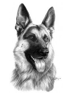 'German Shepherd' graphite pencil drawing by Giles Illsley