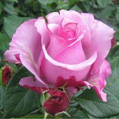 Neptune™ - Hybrid Tea Roses - Roses - Heirloom Roses