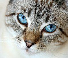 Lynx Point Siamese Eyes | por Lynette MT