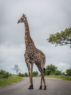 Giraffe in the road on a Kruger self-drive safari