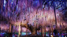 #wisteriaflowertunnel #japanguide #travelinspo #theeverygirl