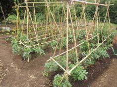 cultivar alimentos organicos ... tomateras y lechugas